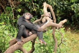 Rwanda Chimpanzees Tracking