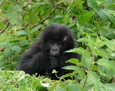 2 Day rwanda Gorilla trek