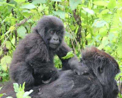 Double Gorilla trek rwanda 4 Days