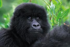 Rwanda Primate Safaris