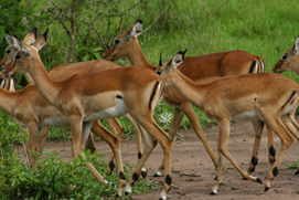 Wildlife Viewing in Murchison Falls