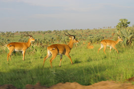 Murchison Falls wildlife Safaris
