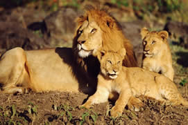 Wild-Lions in Akagera