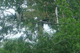 Golden Monkey Tracking in Rwanda