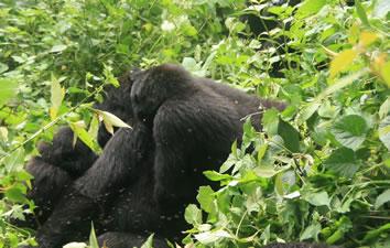 5 Days rwanda Gorilla Trek Adventure
