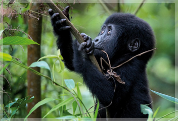 Gorilla & Wildlife Safaris