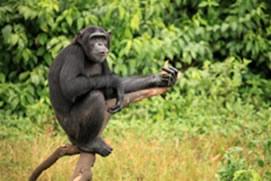chimps trekking