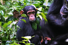 chimp young