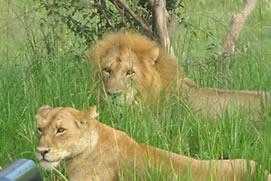 lions murchison