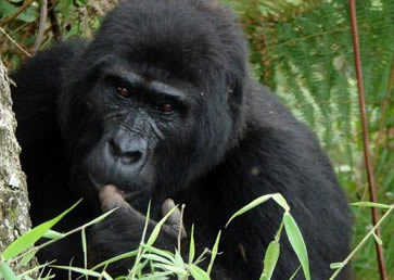 6 Days Gorilla Safari in Bwindi Forest