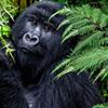 Gorilla Tour in Uganda and Rwanda