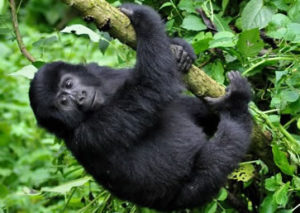 5 Days Gorilla Safari Tour