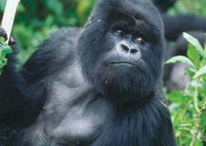 4 Days Gorilla Trek Rwanda