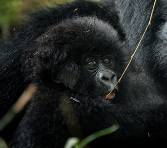 1 Day Rwanda Gorilla Tour at Volcanoes National Park